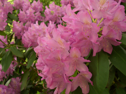 rhododendron-pink.jpg