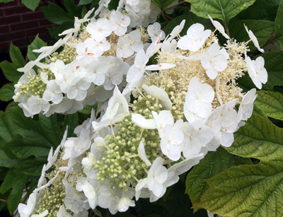 Hydrangea quercifolia - Oakleaf HydrangeaFull sun to part shade. Growth to 8 ft. tall x 8 ft. wide. Zone 5 - 9, with winter protection in coldest zone. Good cut or dried flower, blooms in early summer, prune right after it blooms.
