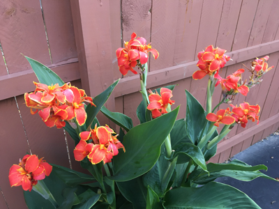 Colorful and hardy Cannas!