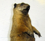 A groundhog is also known as a chuck, wood-shock, groundpig, whistlepig, whistler, thickwood badger, Canada marmot, monax, moonack, weenusk, red monk or siffleux.