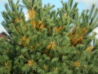 White Pines shed some inner needles in Autumn, often causing a panic that they may be dying.