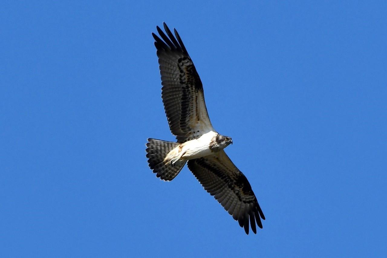 Osprey-3.jpg