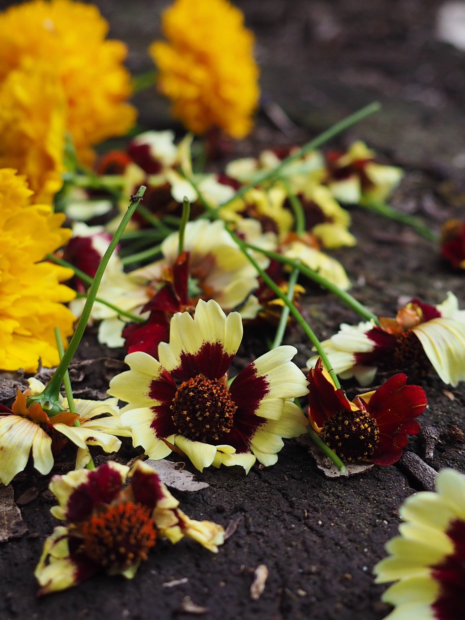Ellie Beck Petalplum_coreopsis flowers natural dyeing_web size86F867F0-03EC-4961-971B-661CB0F09D68.JPG
