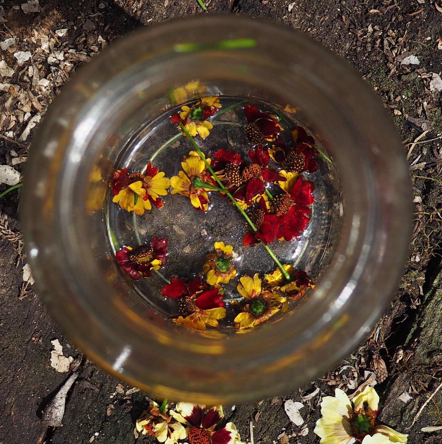 Ellie Beck Petalplum_coreopsis flowers natural dyeing_web size7061C37F-2FF8-46B1-B855-6D1552D749E1.JPG