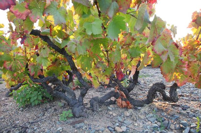 Morgon - Vielles Vignes (Old Vines)