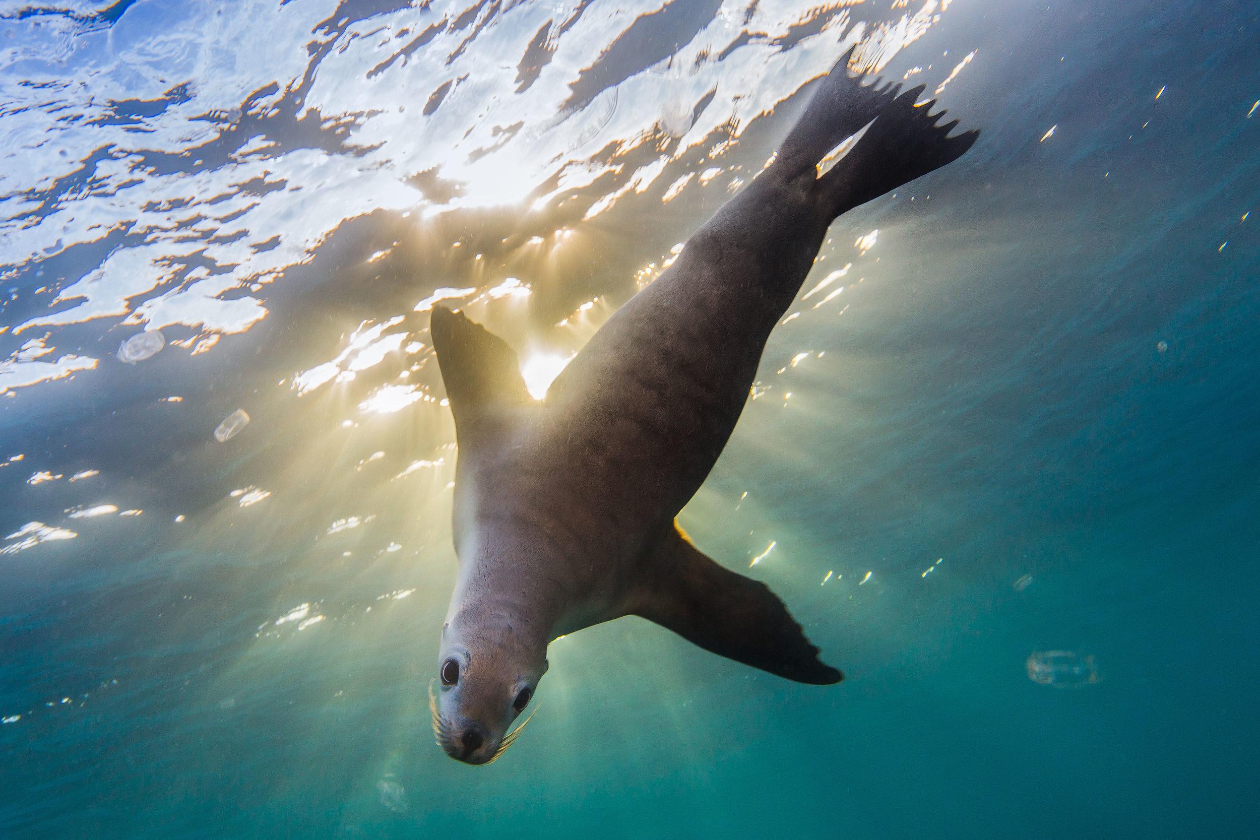 Australian Sea-lion - Hopkins Island, SA-6-BL.jpg