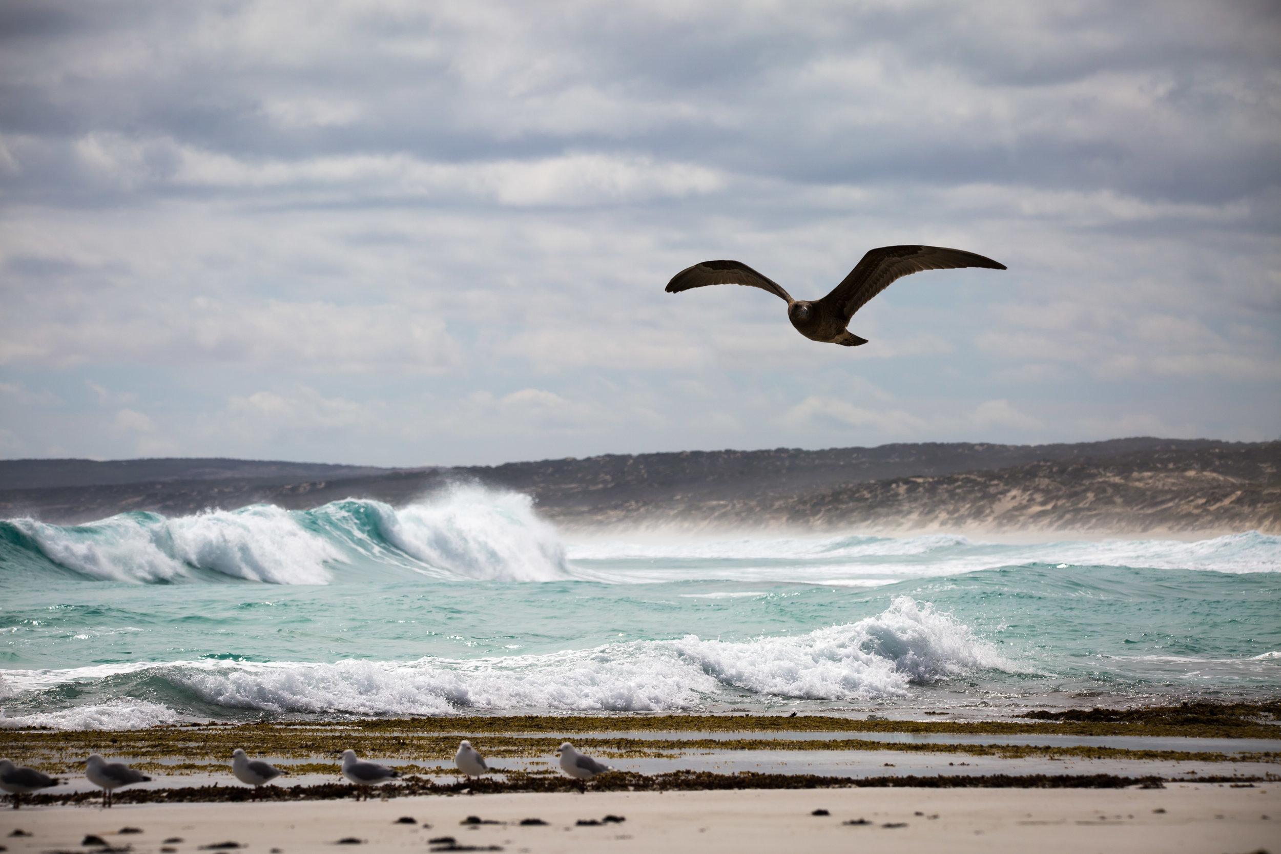 Lincoln National Park - Pacific Gull - 3- BL.jpg