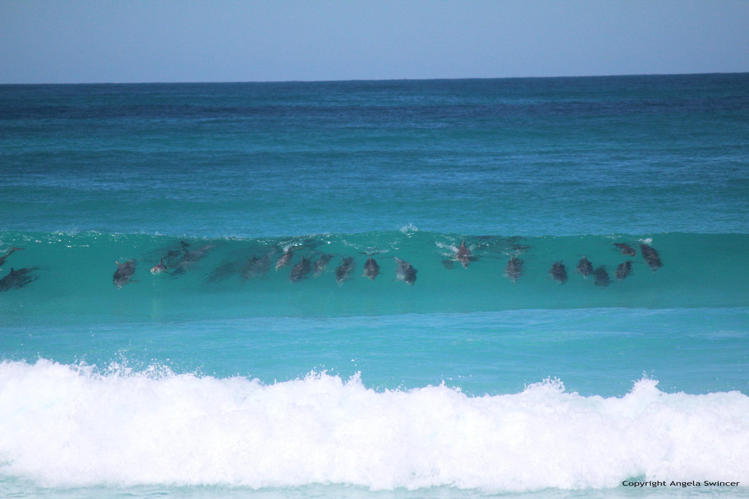 RS3649_Surfing Dolphins_AngelaSwincer_Fowlersbay.jpg