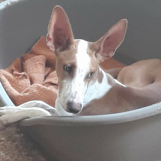 Extras - We do not lock up Podencos in small cages, in fact all Podencos have their own dog bed and they get tucked in every night. We often need to buy travel crates, dog beds, blankets, treats and much more.
