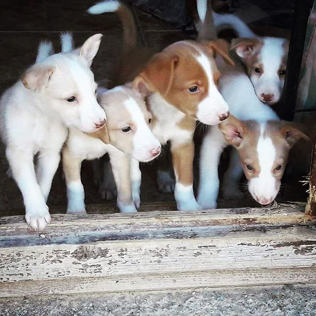 HopeForPodencos-AboutUs_Puppies