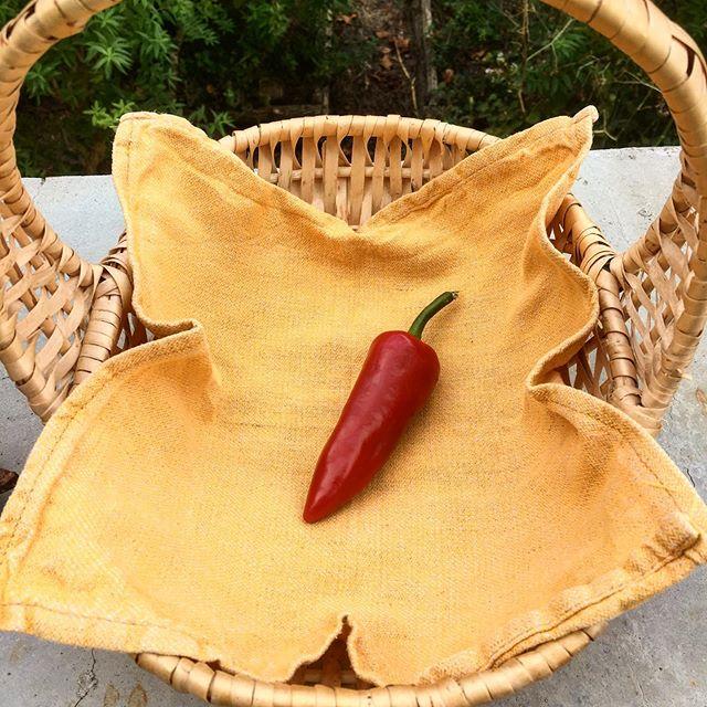 Piment d'Orion @chateaudorion  #gardening #piment #pimentdespelette #jardin #légumes #vegetables #orion #châteaudorion #bearndesgaves #food #foodgarden #jardinageécologique #jardinage #pyrenees #pyreneesatlantiques #happyfood #enjoyvegetables #philosophie #denkwochen #nature #goodfood #sustainable #sustainablefoodproduction #culture #france #chateaudefrance