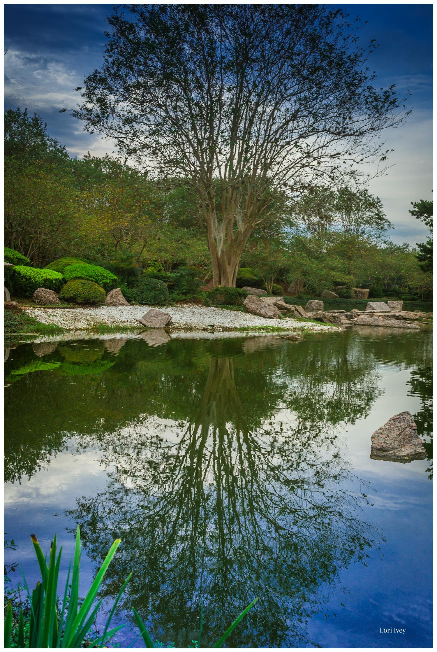 Reflected tree at koi pond at Japanese Gardens, Hermann Park