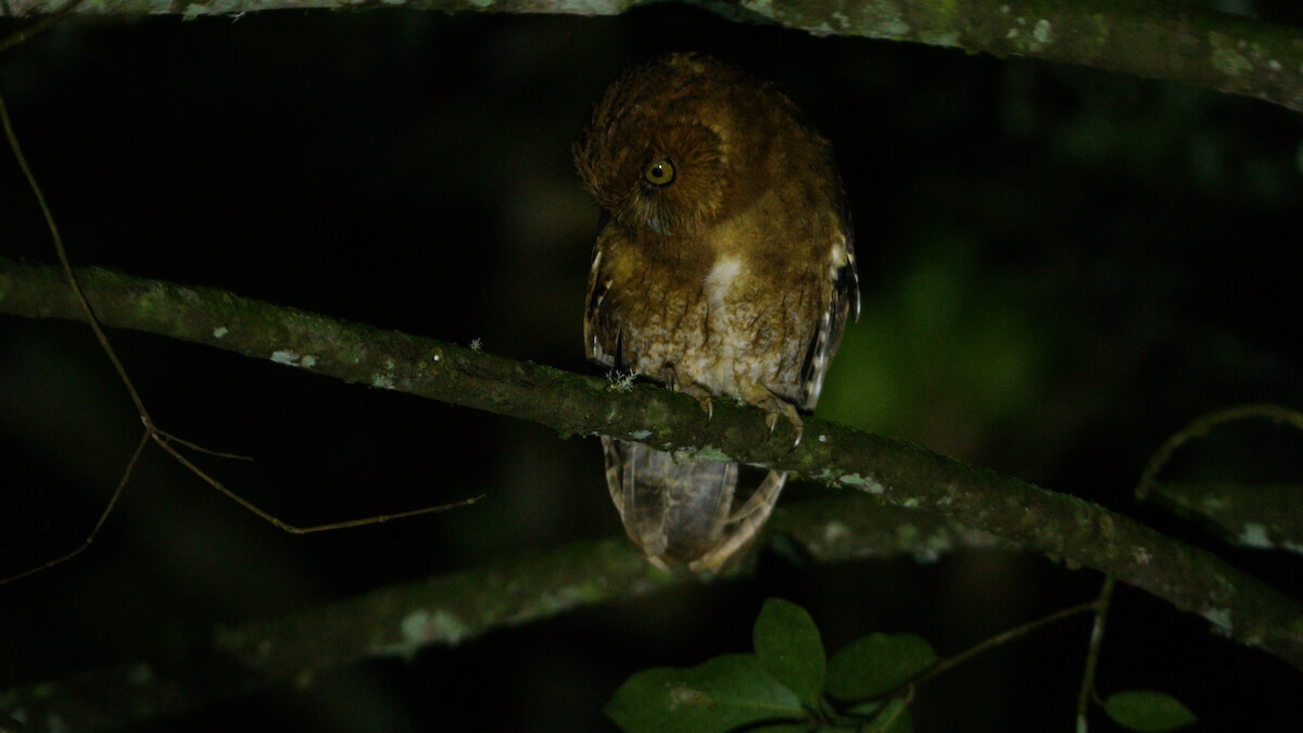 Endemic Santa Marta Screech Owl, filmed by WhereNext in the Sierra Nevada de Santa Marta. Photo: Keith Ladzinski / WhereNext