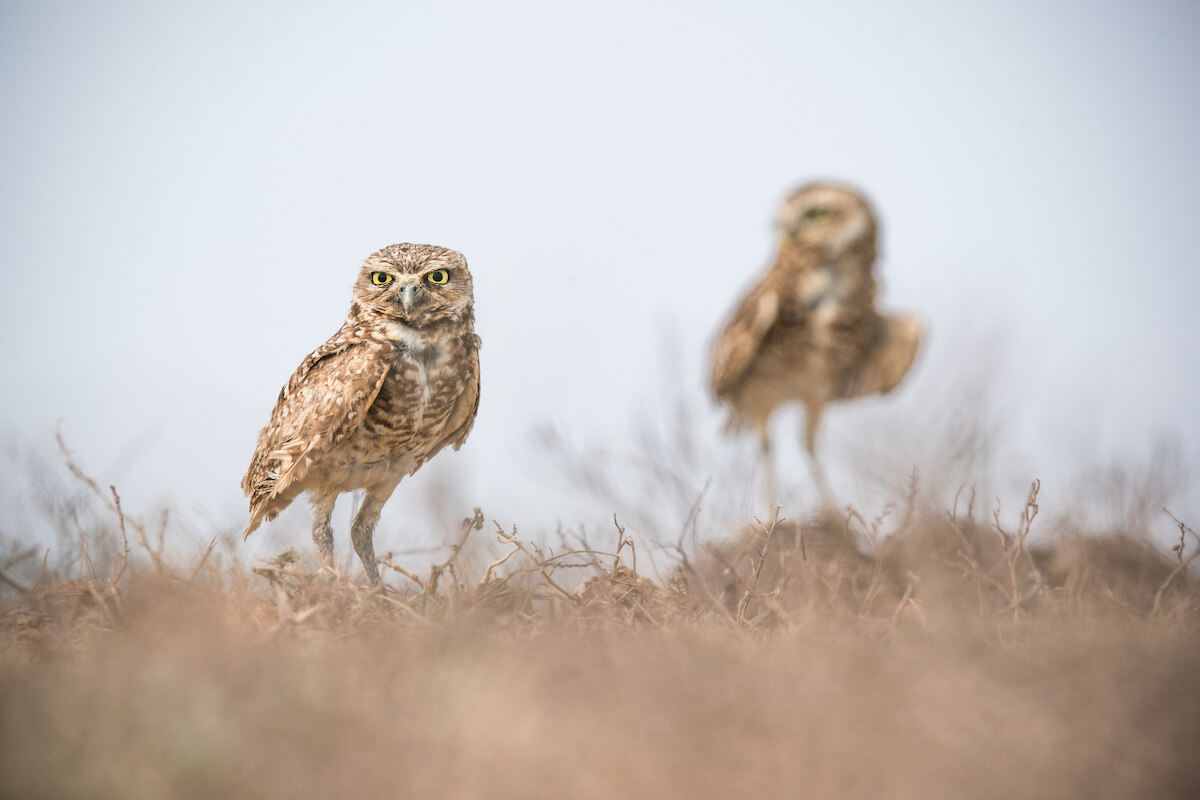 Burrowing owl Orinoquía, Colombia. Photo: Morgan Heim / WhereNext