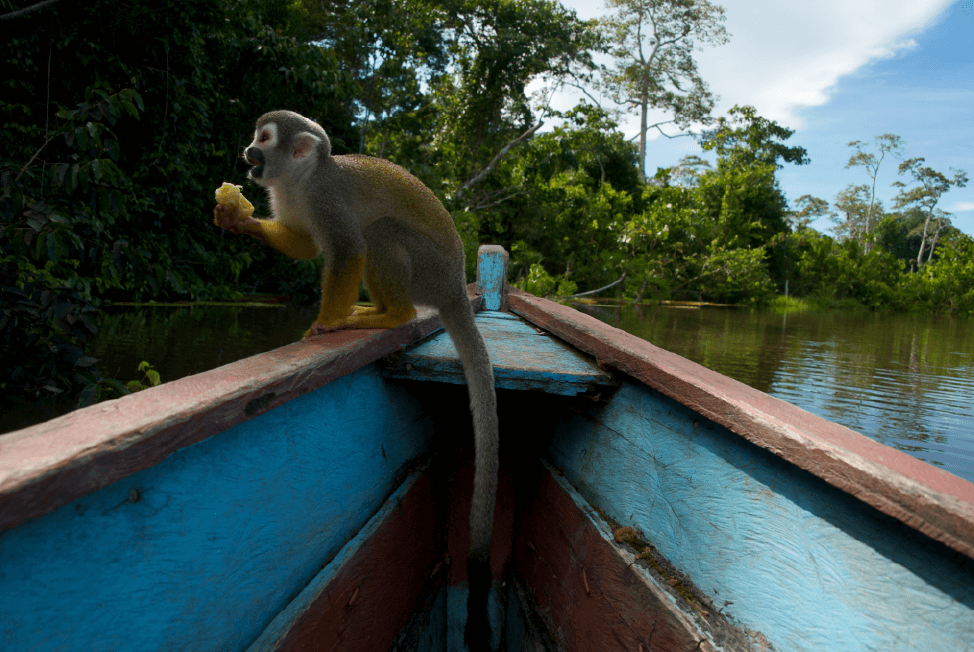 A Squirrel Monkey taking a break on a canoe while shooting in the Colombian Amazon region