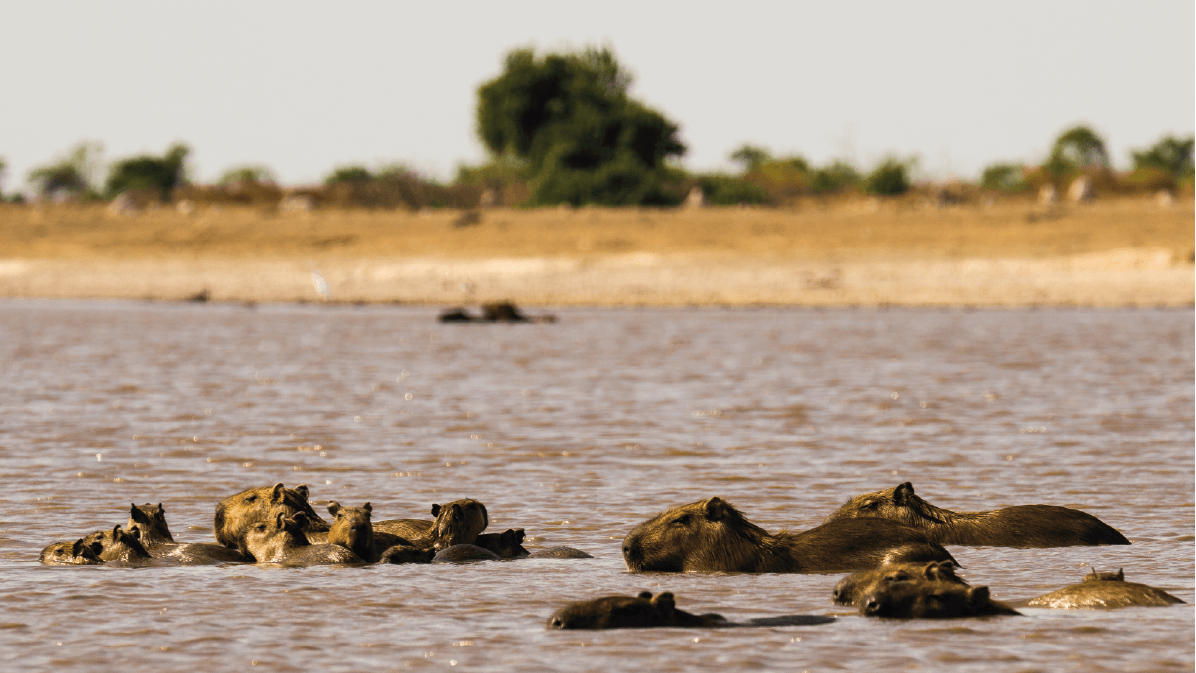 Capybaras - known in the Llanos as 'Chiguiros' - cooling off in a watering hole at El Encanto de Guanapalo Natural Reserve