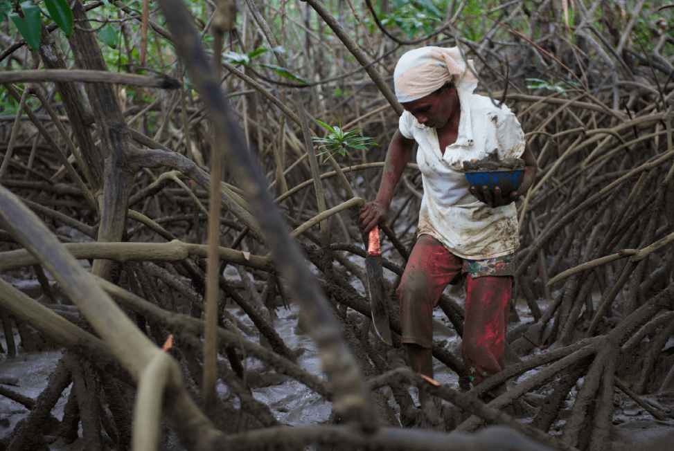 Foraging for La piangua, a delicacy and small bivalve that lives in the mangroves along Colombia's Pacific Coast.