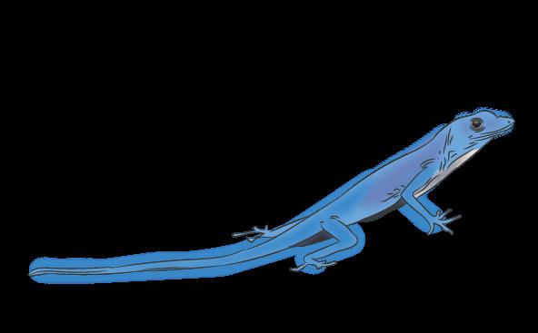 Blue Anole