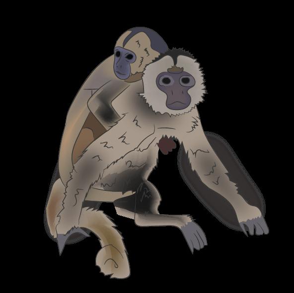 Santa Marta White-fronted Capuchin