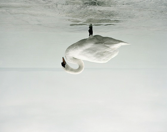 swan-flipped.png