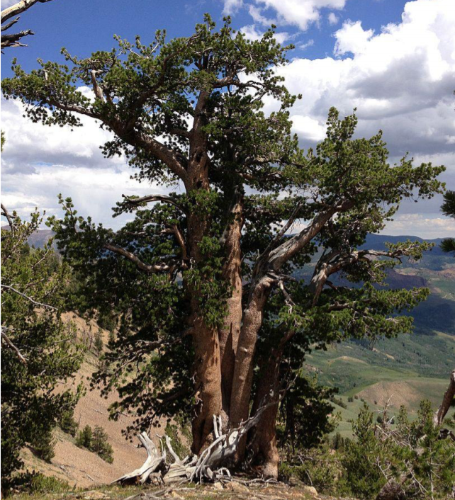 Iconic white bark pine trees are keystone species in high elevation forests, providing critical habitat for wildlife.