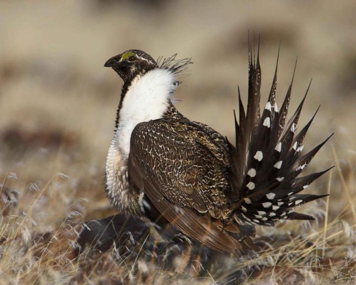 greater-sage-grouse-bird_w725_h580.jpg