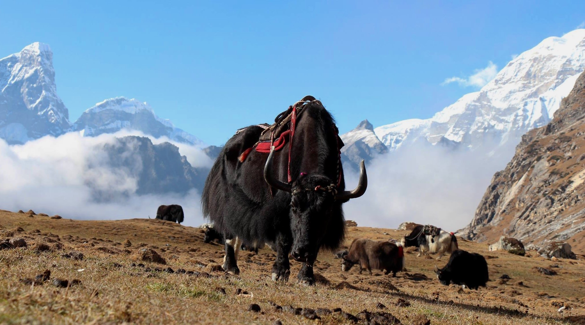 Yaks are used in the Himalayas as transport animals. During the Snowman Trek, yaks are used in the high altitude passes. Photo: Veronika Švecová