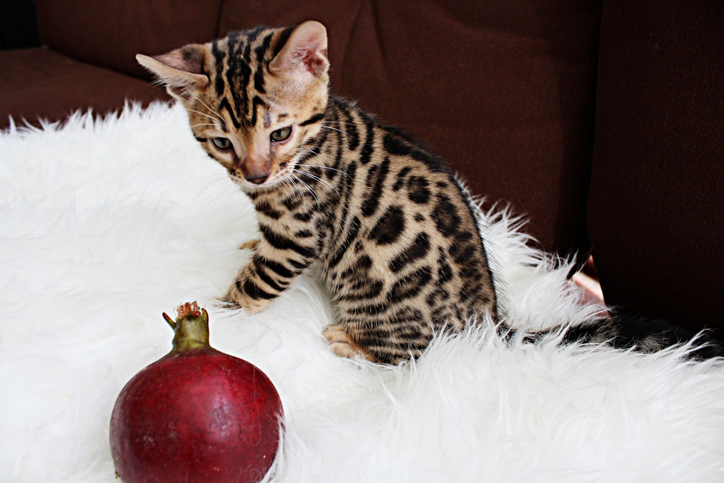 Pomegranate- Male(SOLD) - The rosettes on this boy are beautiful. He comes out of Snickers and Leo and is available as a pet or a breeder.