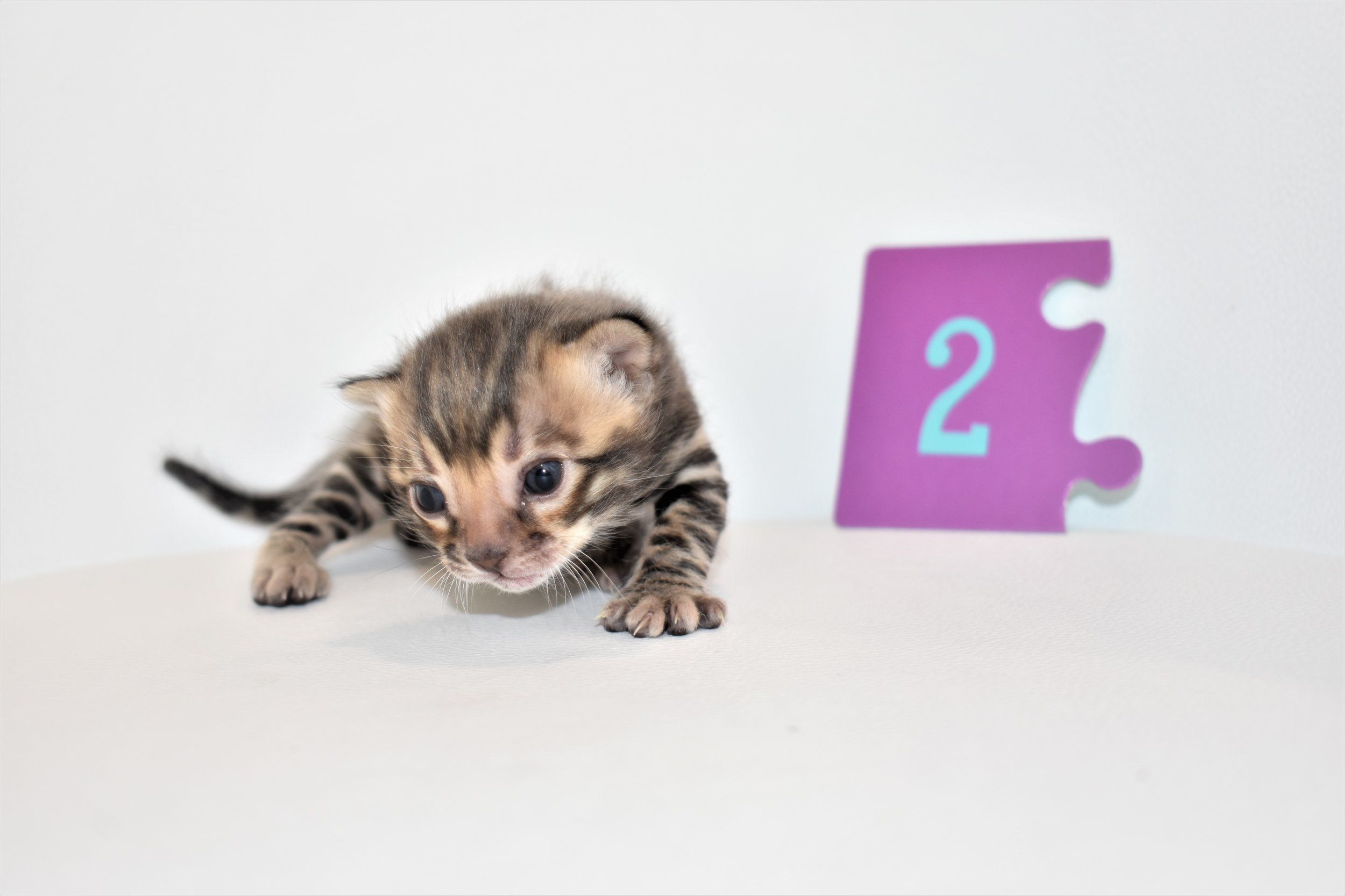 Brown Male (Reserved) - Born: August 15th,2019Price: 2,000 (Pet only)King:LeoQueen: Princess