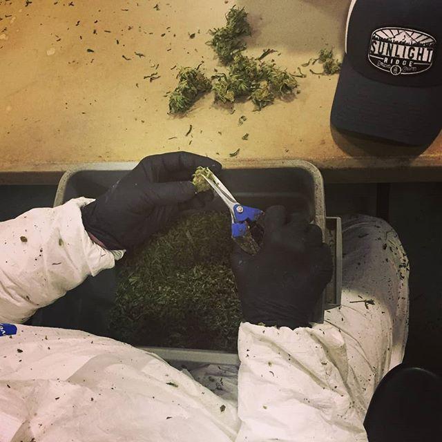 Trim day!  #sunlightridge #terpenes  #oregongrowers #maryjane #portlandweed #madeinoregon #oregonbud #420 #thc #cannabis #medicalmarijuana #medicalcannabis #weedstagram #weedstagram420 #instahigh #weshouldsmoke #weed  #farmlife #flower #trichromes #terpenes  #cannabiscommunity  #topshelflife