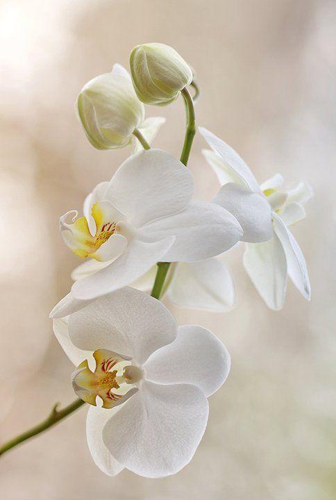 white orchid.jpg