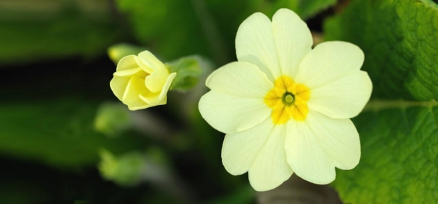 yellow primrose.jpg