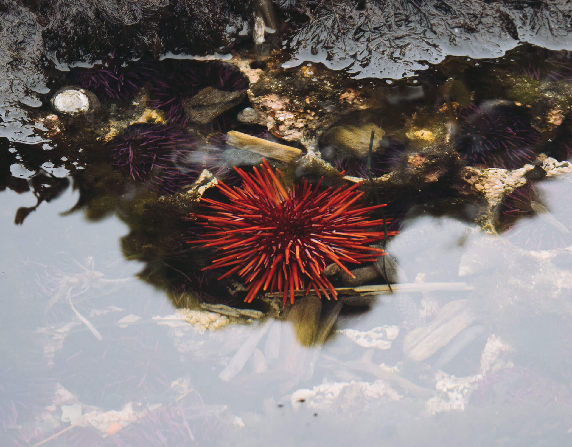 Sea urchins at the Yaquina Head Marine Garden.