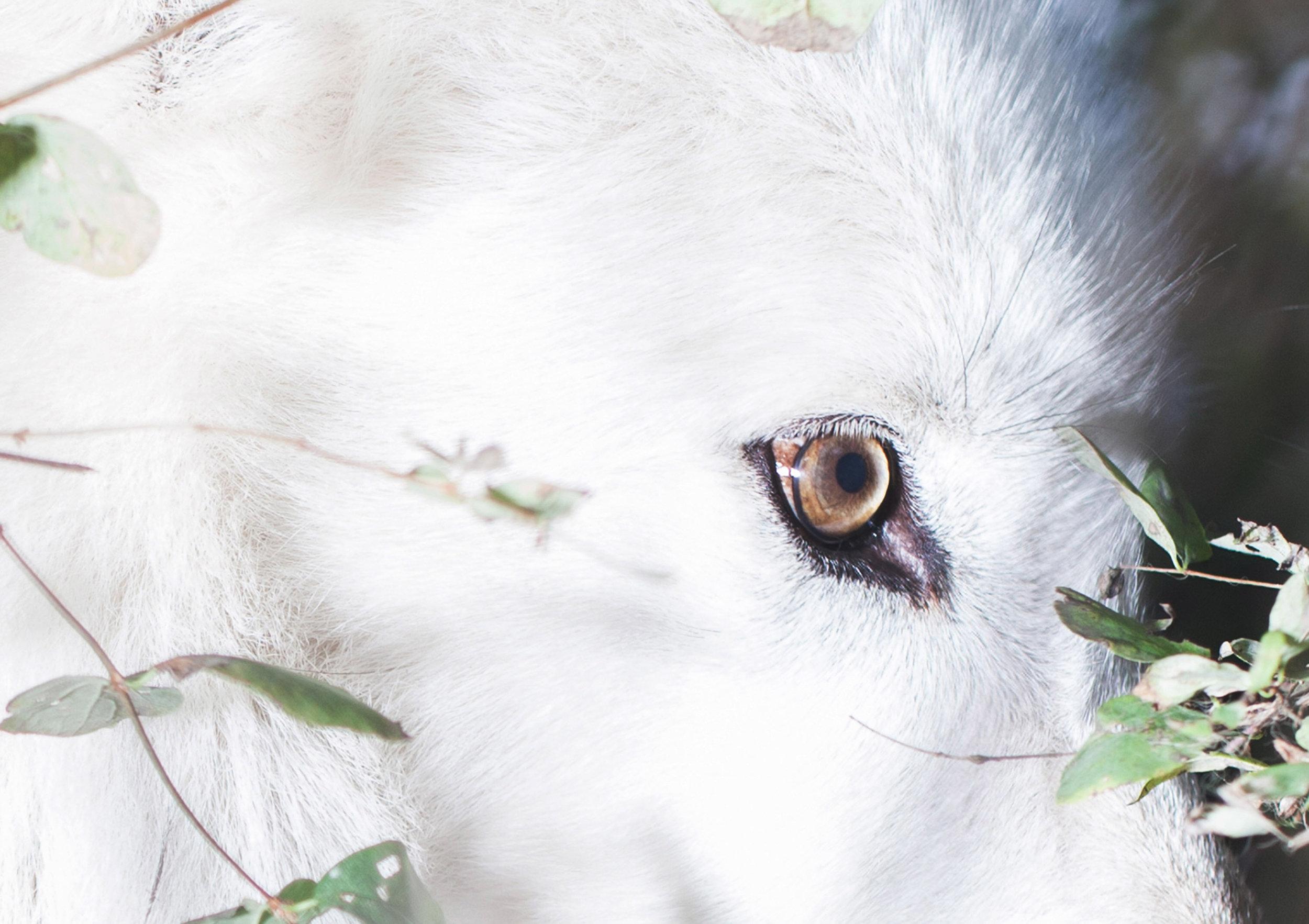 Wolf Haven Lonnie-Close up.jpg