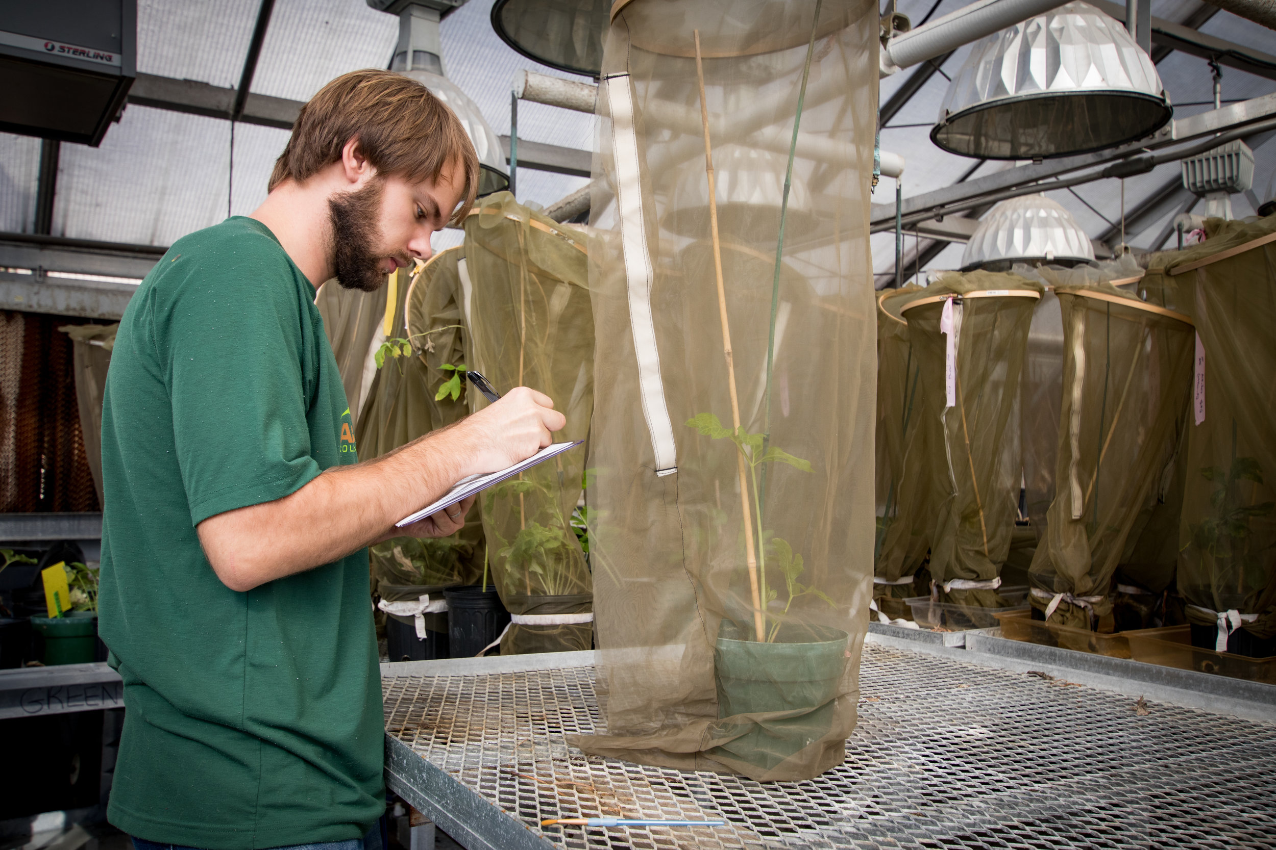 Doctoral student Will Shoenberger counts Entylia carinata treehoppers on a host plant in the greenhouse. Will studyies the evolution of complex behaviors, including mutualistic interactions and niche construction, using various ant, treehopper, and plant species. Photo:  Impact Media Lab