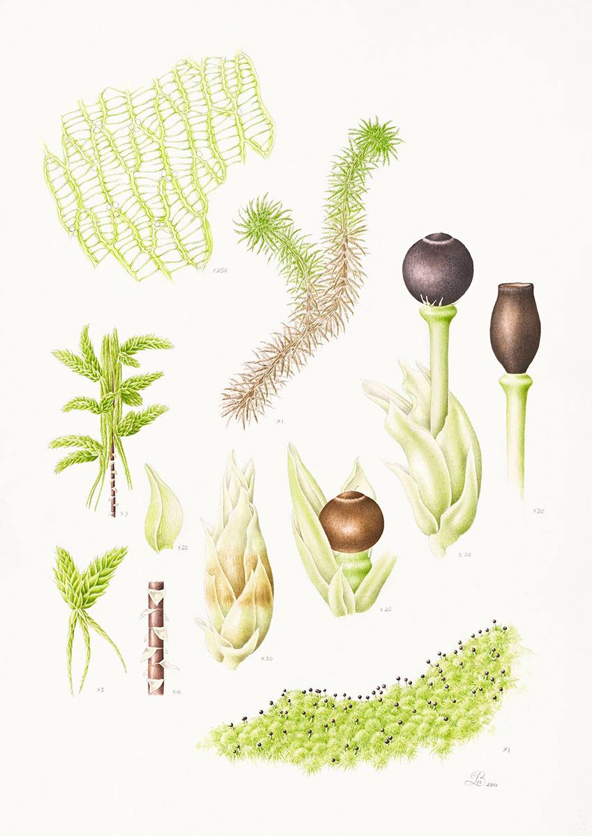 Sphagnum australe.jpg