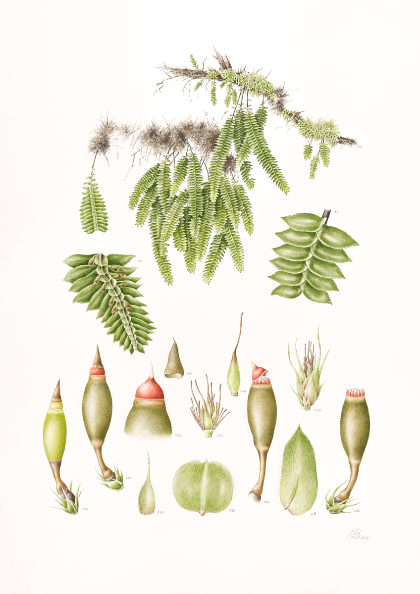 Cyathophorum bulbosum.jpg