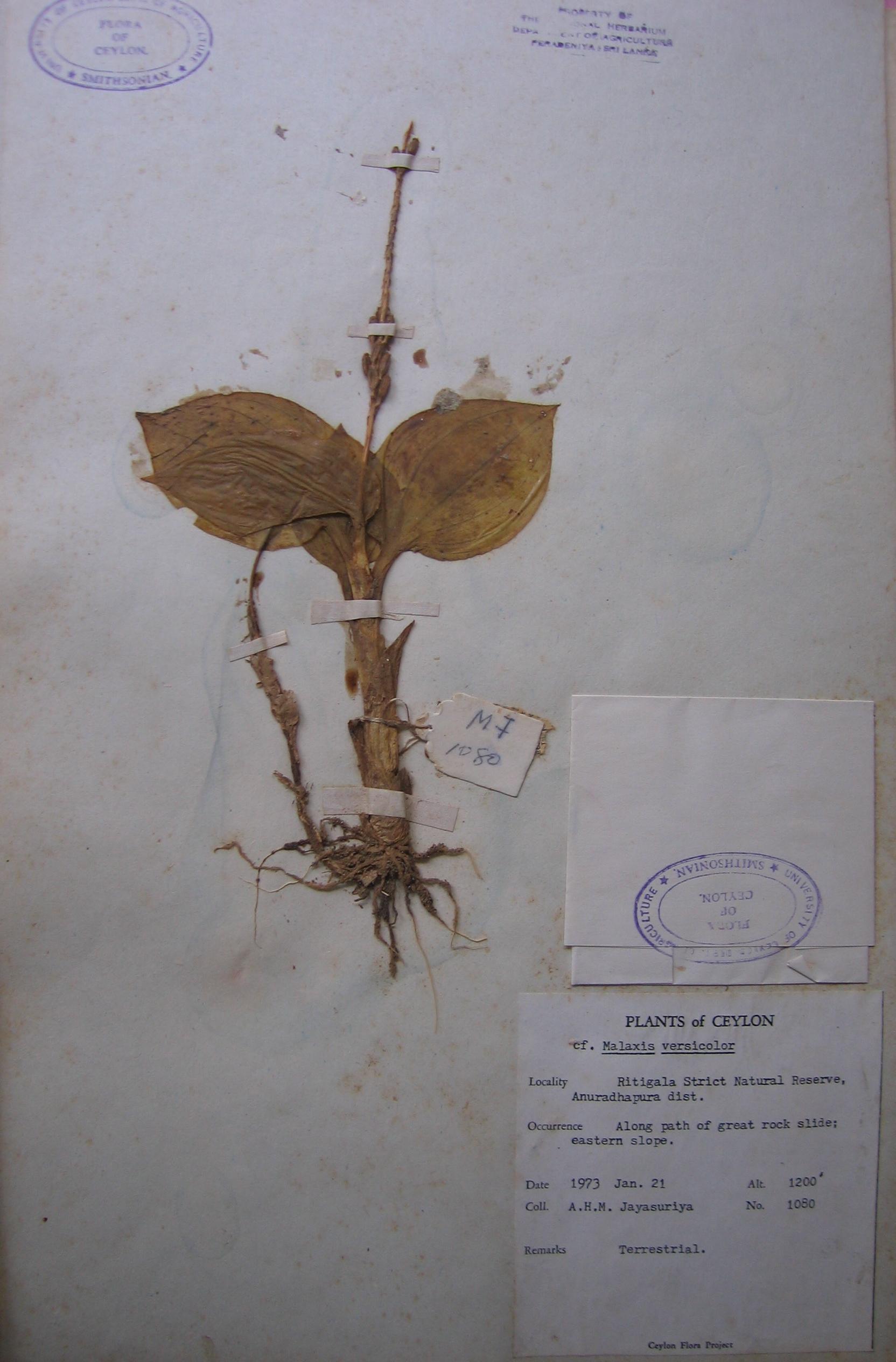 Herbarium malaxis 2 copy.JPG