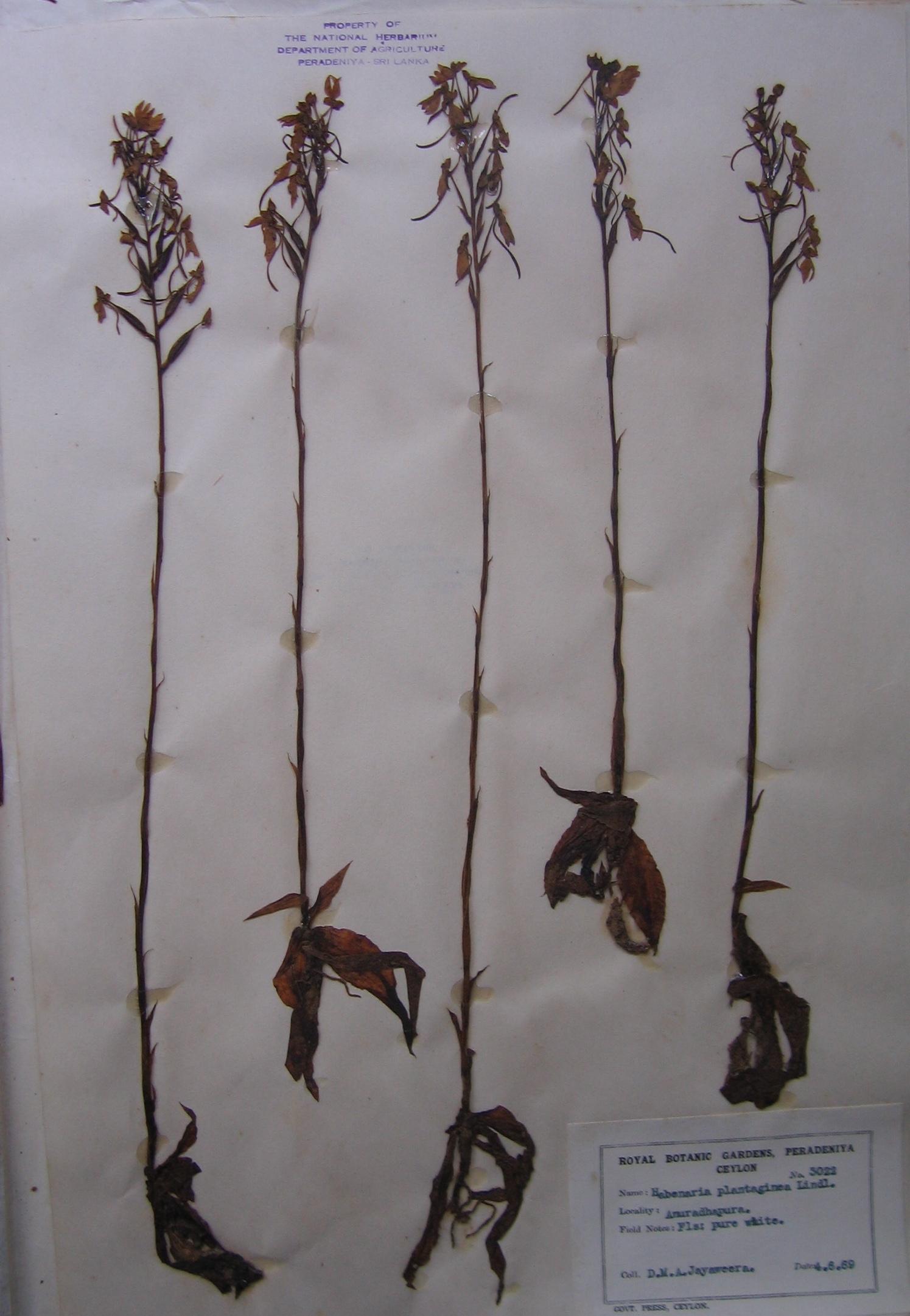 Herbarium specimen 2.JPG