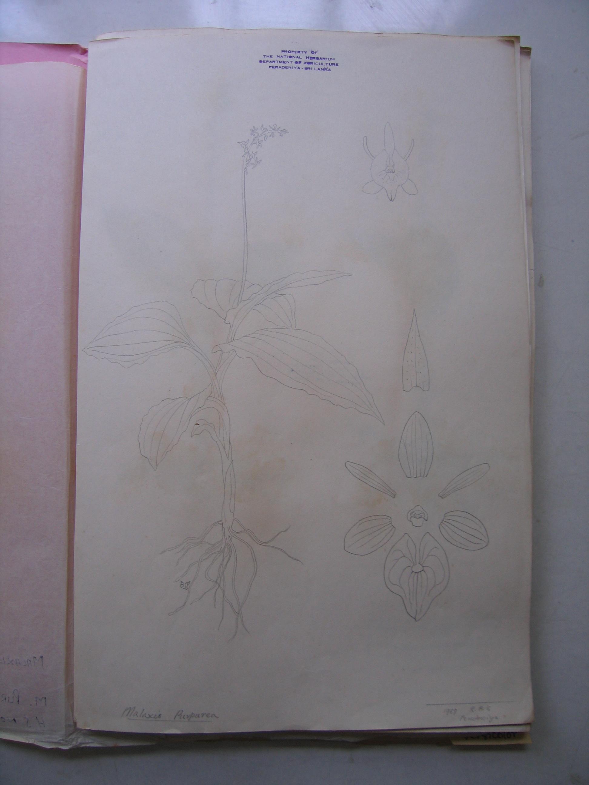 Herbarium malaxis sketch2 copy.JPG