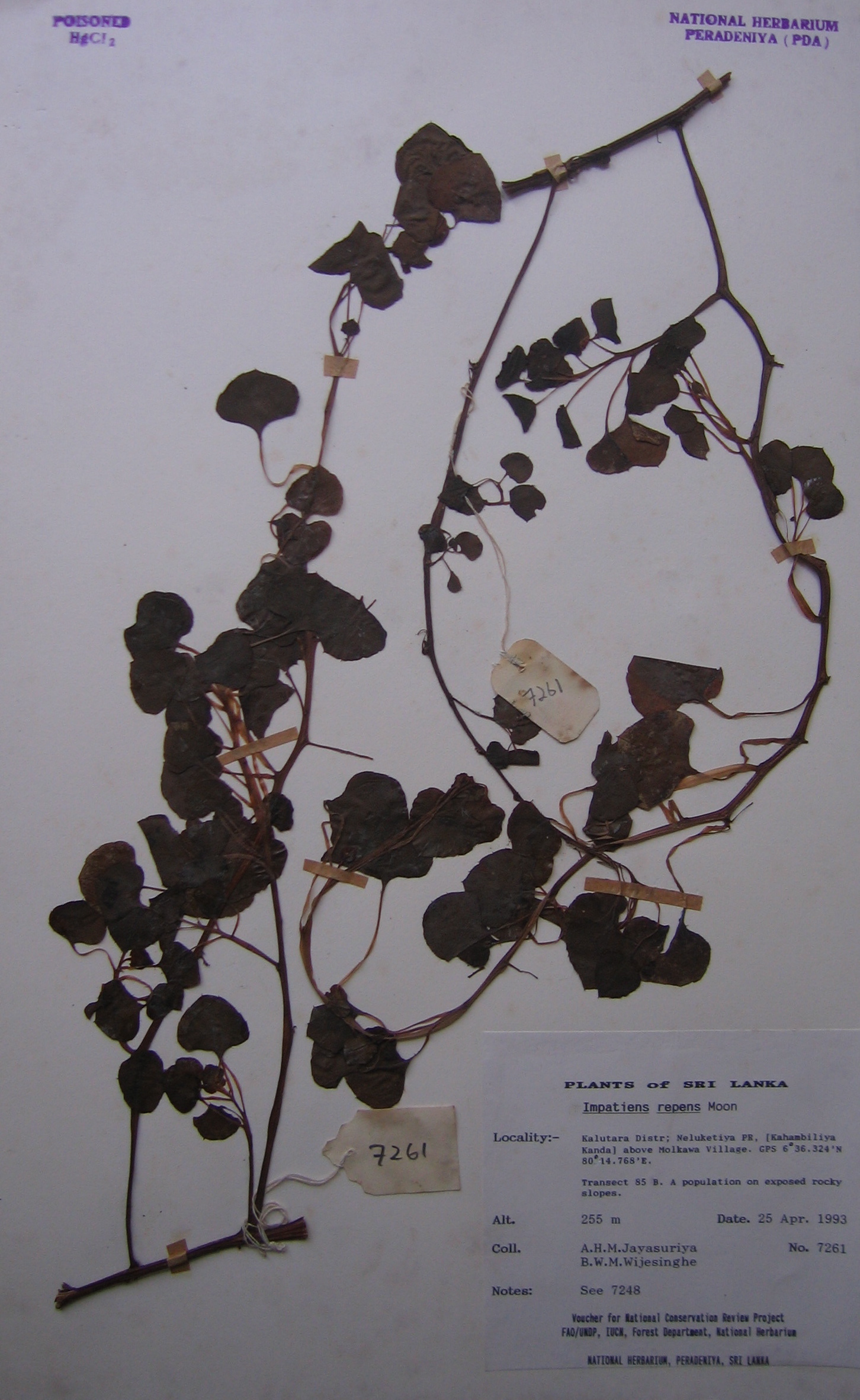 Herbarium specimen copy.JPG