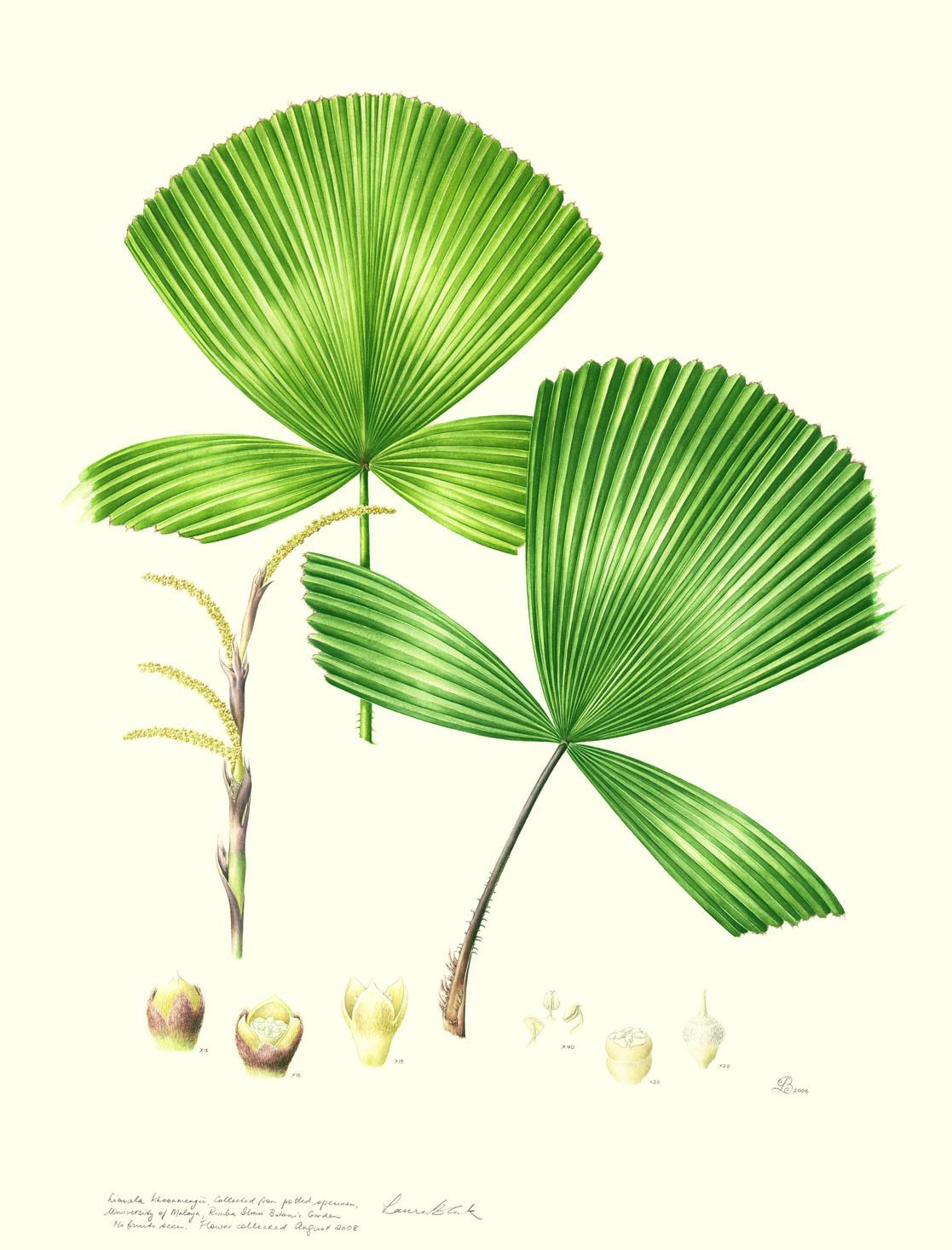 Licuala khoonmengii