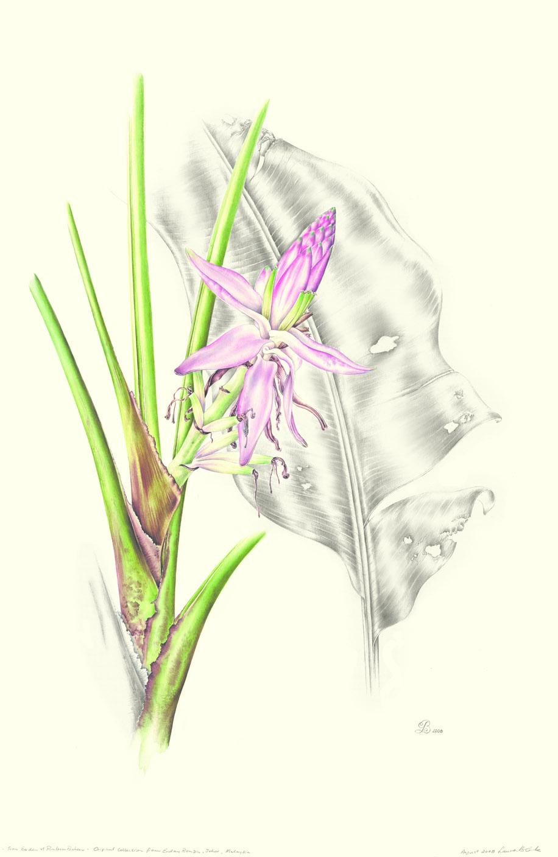 Musa gracilis