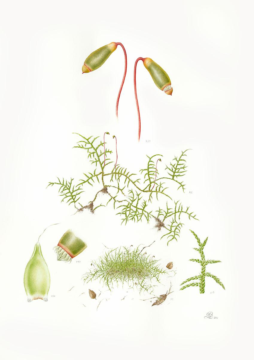 Wijkia moss.jpg