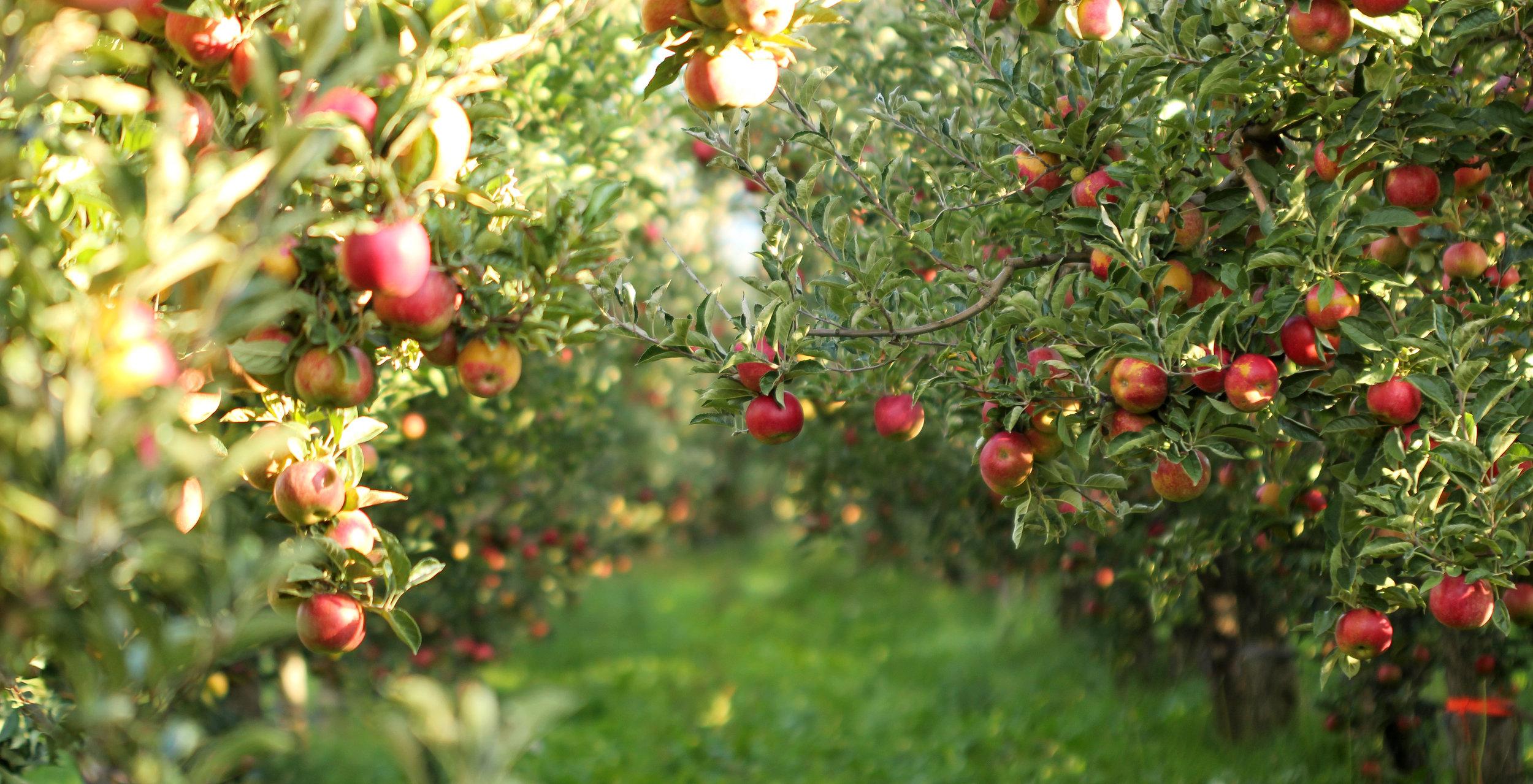 flathead apple orchard.jpg
