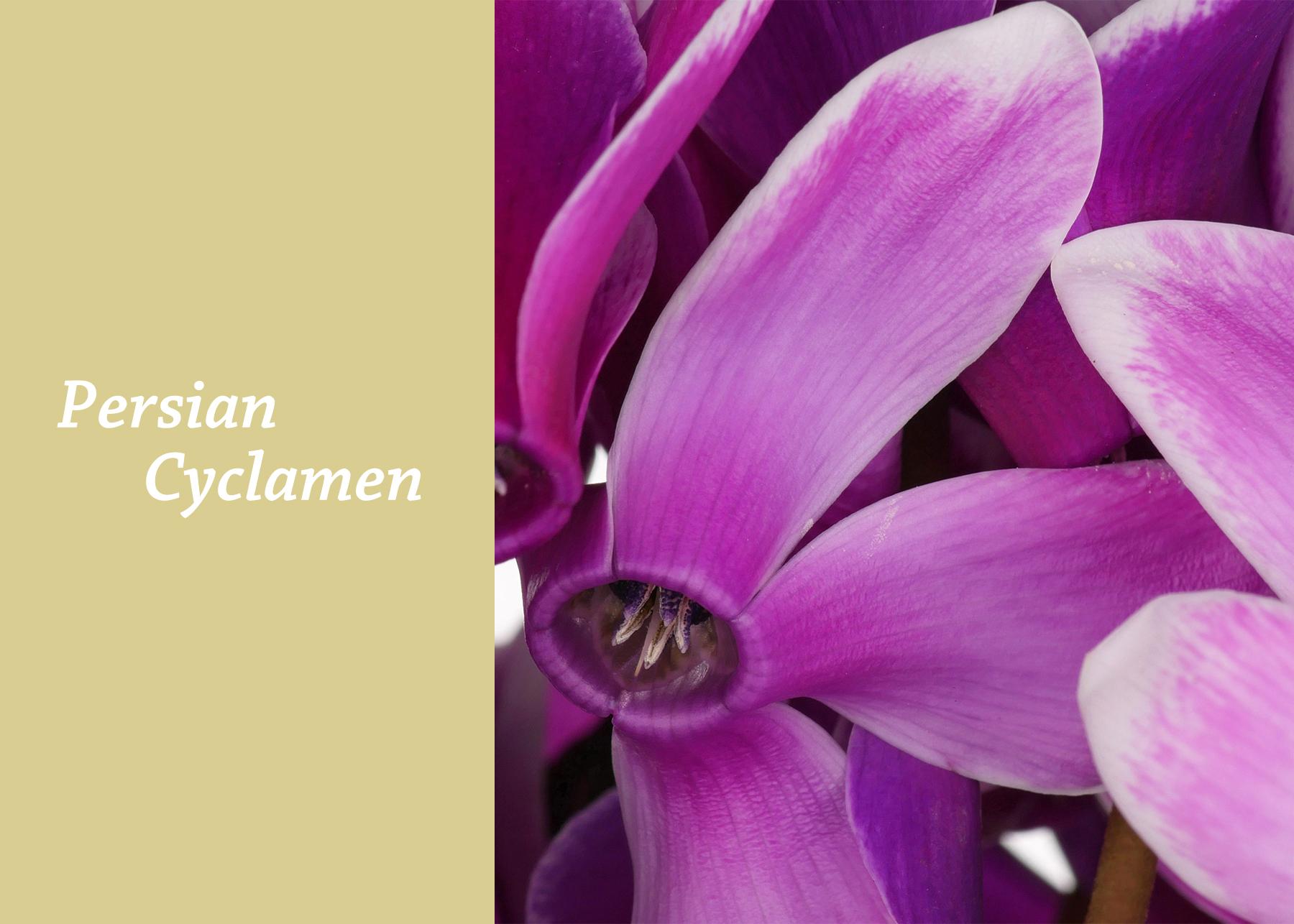 Persian Cyclamen.jpg