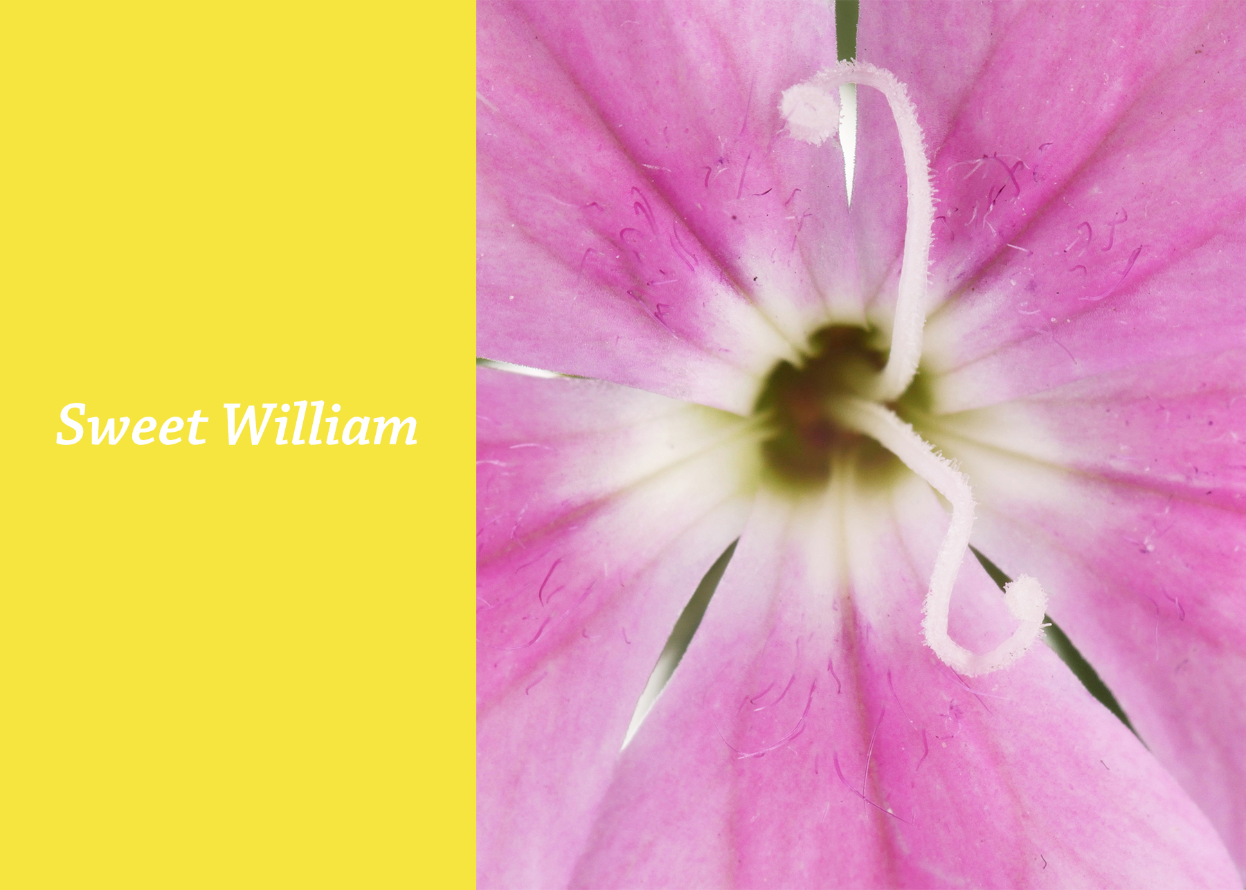 Sweet William.jpg