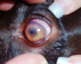 Corneal eye ulcers can be difficult to view