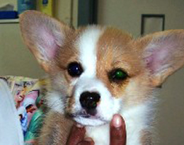 Fluoroscein eye stain in a beautiful corgi pup (Note the greenish tinge to the left eye)