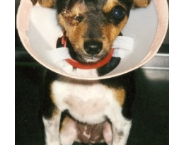 """Small dogs are often great friends with big dogs. Arguments over bones however can be costly! Just one quick nip can """"pop"""" out an eyeball. Please take care when feeding."""